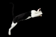 Jumping Black and White Oriental cat Isolated on Black royalty free stock image