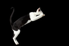 Jumping Black and White Oriental cat Isolated on Black Stock Images