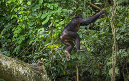 Jumping Bonobos (Pan Paniscus) on a tree branch. Green natural jungle background. Royalty Free Stock Images