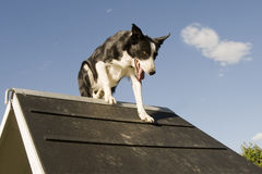 Jumping  border collie Stock Photos