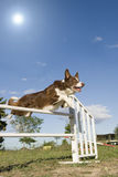 Jumping  border collie Stock Photography