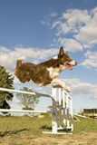 Jumping  border collie Royalty Free Stock Photography