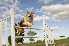 Jumping  border collie Royalty Free Stock Images