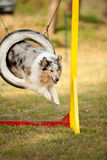 Jumping border collie on agility course Stock Images