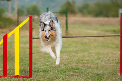 Jumping border collie on agility course Royalty Free Stock Photo