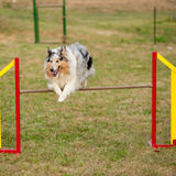 Jumping border collie on agility course Royalty Free Stock Photography