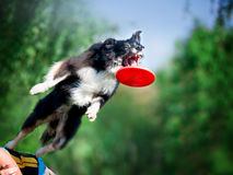 Jumping border collie catching the frisby disk Stock Photos