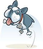 Jumping Boston Terrier Royalty Free Stock Image
