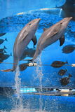 Jumping bottlenose dolphin. The couple of jumping bottlenose dolphins royalty free stock photography