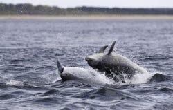 Jumping breaching Wild bottlenose dolphin tursiops truncatus. stock photo
