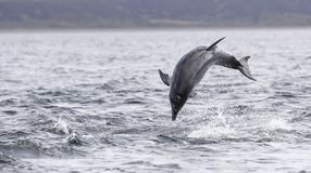 Jumping breaching Wild bottlenose dolphin tursiops truncatus. Wild dolphin in playful mood while hunting for migrating Atlantic Scottish salmon in the Moray stock images