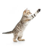 Jumping british kitten isolated on white Royalty Free Stock Image
