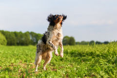 Jumping Brittany dog on a field. Picture of a jumping Brittany dog on a field Royalty Free Stock Photos