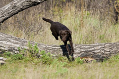 Jumping Brown Labrador Retriever Female Stock Photos