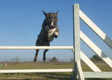 Jumping bull terrier Royalty Free Stock Photo