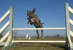 Jumping bull terrier Stock Photo