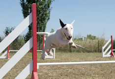 Jumping bull terrier Royalty Free Stock Images
