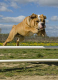 Jumping bulldog Stock Photo