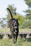 Jumping cane corso dog. Portrait of a jumping brown cane corso dog Stock Image