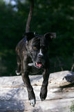 Jumping cane corso dog. Portrait of a jumping brown cane corso dog Stock Photo