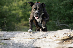 Jumping cane corso dog. Portrait of a jumping brown cane corso dog royalty free stock photos