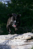 Jumping cane corso dog. Portrait of a jumping brown cane corso dog Royalty Free Stock Photo