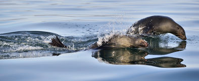 Jumping Cape fur seal (Arctocephalus pusillus pusillus) Royalty Free Stock Images