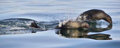 Jumping Cape fur seal (Arctocephalus pusillus pusillus) Royalty Free Stock Images