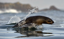 Jumping Cape fur seal (Arctocephalus pusillus pusillus) Royalty Free Stock Photography