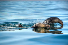 Jumping Cape fur seal (Arctocephalus pusillus pusillus) ., False Bay, South Africa Stock Image