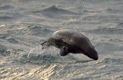 Jumping Cape fur seal (Arctocephalus pusillus pusillus) on sunrise light Royalty Free Stock Photography