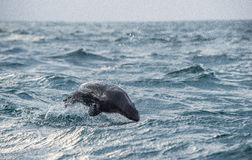Jumping Cape fur seal (Arctocephalus pusillus pusillus) on sunrise light Stock Photos