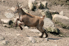 Jumping capricorn Royalty Free Stock Images