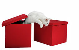 Jumping cat. Jumping white cat out red box in studio Royalty Free Stock Image
