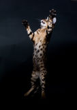 Jumping cat. Bengal kitten in jump. Studio photo Stock Photos
