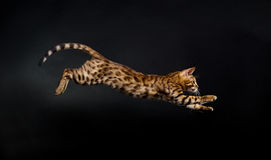 Jumping cat. Bengal kitten in jump. Studio photo Royalty Free Stock Photos