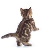 Jumping cat kitten rear view. On white Stock Photos