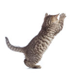Jumping cat rear view isolated. Jumping kitten cat rear view isolated Royalty Free Stock Images