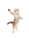Jumping cat striped Scottish fold isolated royalty free stock photos
