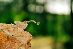 Jumping caterpillar. From a leaf stock photos