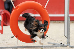 Jumping cavalier king charles Royalty Free Stock Photos