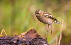 Jumping Chaffinch Royalty Free Stock Image