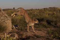 Jumping cheetah Royalty Free Stock Photography