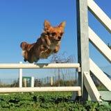 Jumping chihuahua Royalty Free Stock Photo