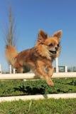 Jumping chihuahua Royalty Free Stock Image