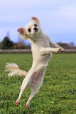 Jumping chihuahua Royalty Free Stock Images