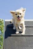 Jumping chihuahua Stock Photo
