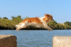 Jumping chihuahua Stock Photography