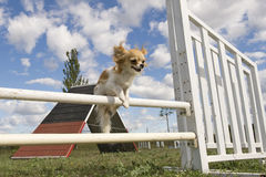 Jumping chihuahua Stock Images
