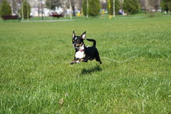 Jumping chihuahua dog Stock Photos